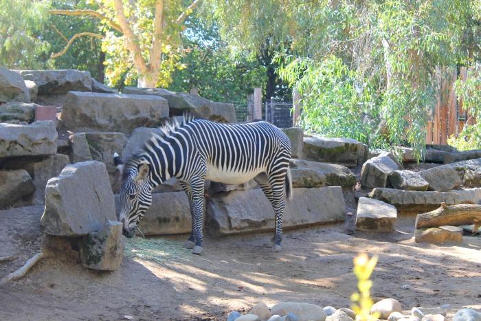 Sacramento Zoo zebra